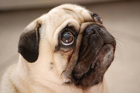 Hopeful Pug
